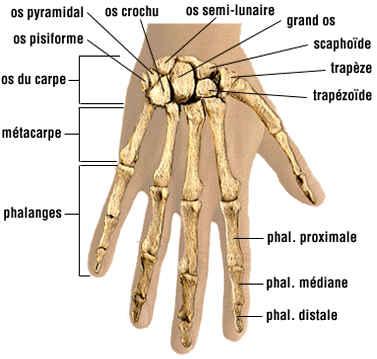 Os de la main gauche